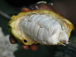 種の部分まで剥いたカカオ豆